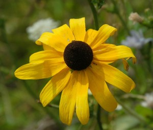 Black_eyed_susan_20040717_110754_2.1474